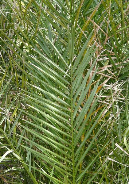 Phoenix dactylifera L.