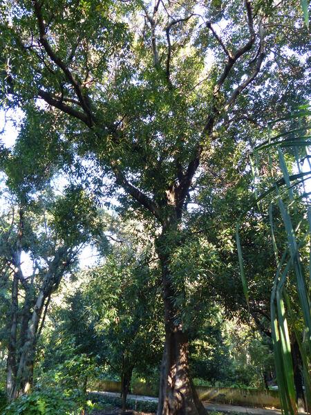 Ficus watkinsiana F.M.Bailey