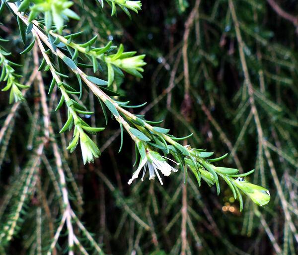 Melaleuca diosmifolia Andrews