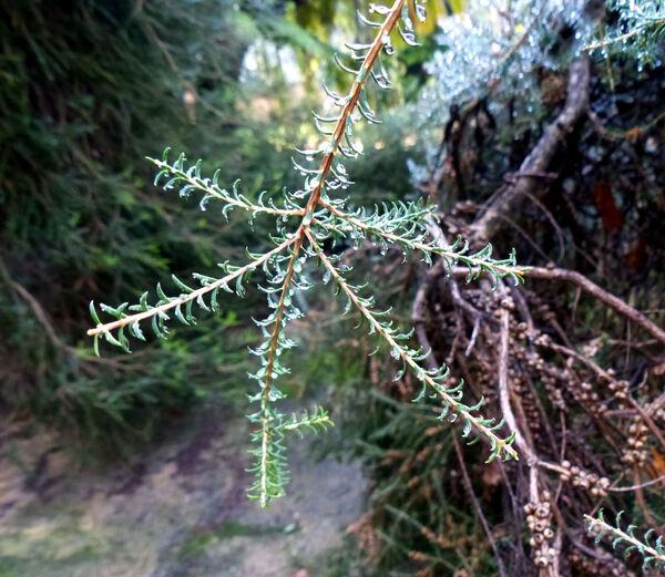 Melaleuca glaberrima F.Muell.