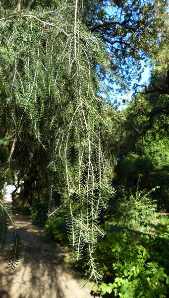 Melaleuca linariifolia Sm.