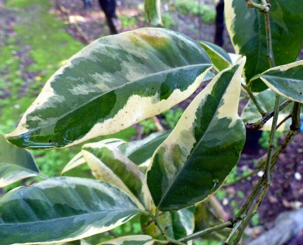Citrus x sinensis (L.) Osbeck 'Mutabilis'