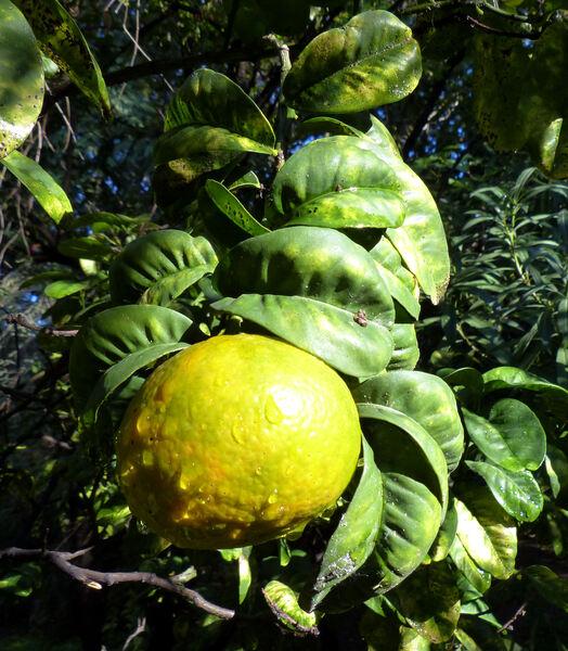 Citrus x aurantium L. 'Crispifolia'