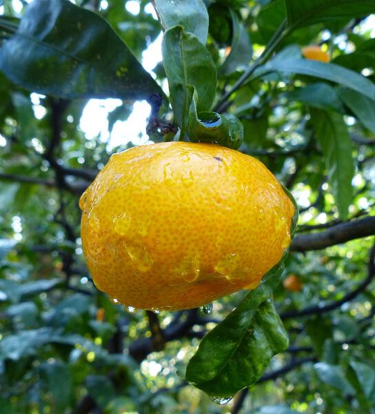 Citrus reticulata Blanco 'Aurantiifolius'