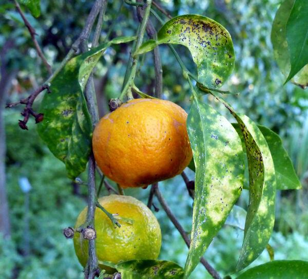 Citrus x aurantium L. 'Listata'