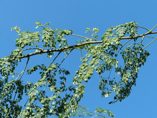 Moringa oleifera Lam.