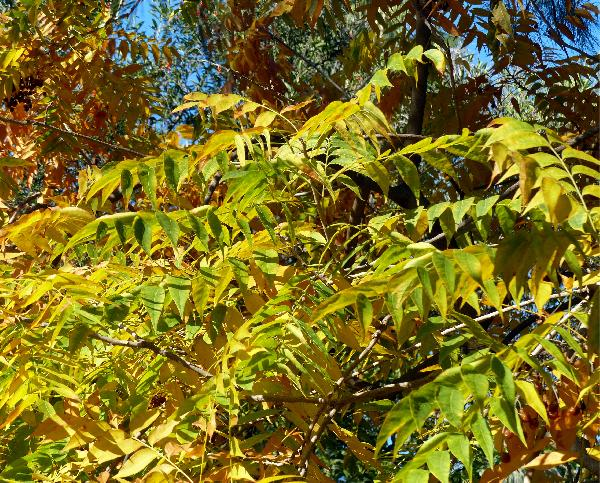 Sapindus marginatus Willd.