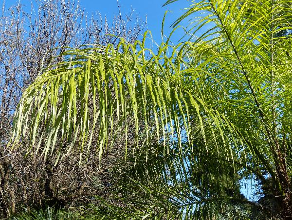 Acrocomia aculeata (Jacq.) Lodd. ex Mart.