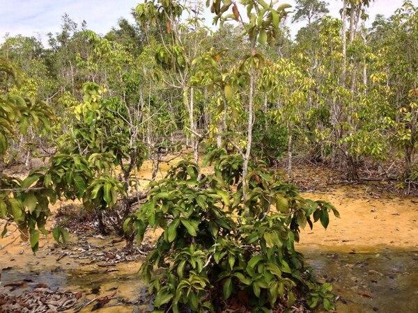 Syzygium papillosum (Duthie) Merr. & L.M.Perry