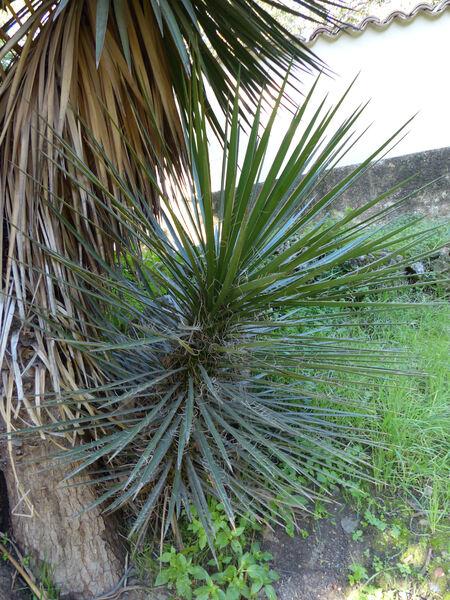 Yucca filifera Chabaud