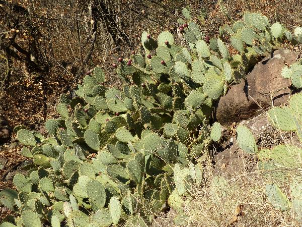 Opuntia phaeacantha Engelm.