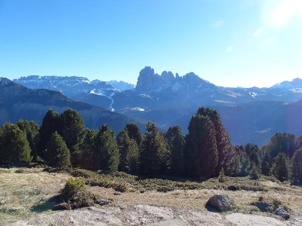 Pinus cembra L.