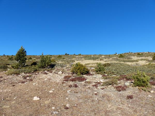 Juniperus communis L. subsp. alpina (Neilr.) Čelak.