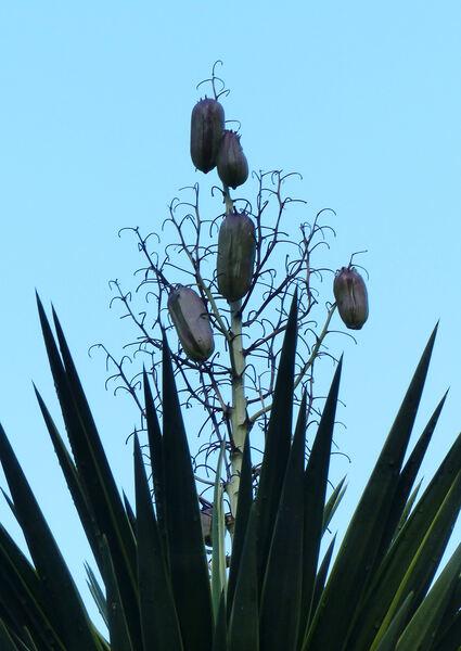 Yucca gloriosa L. 'Tricolor'