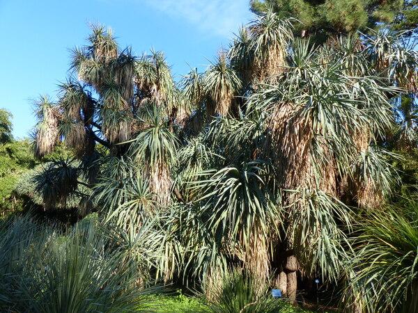 Yucca schottii Engelm.