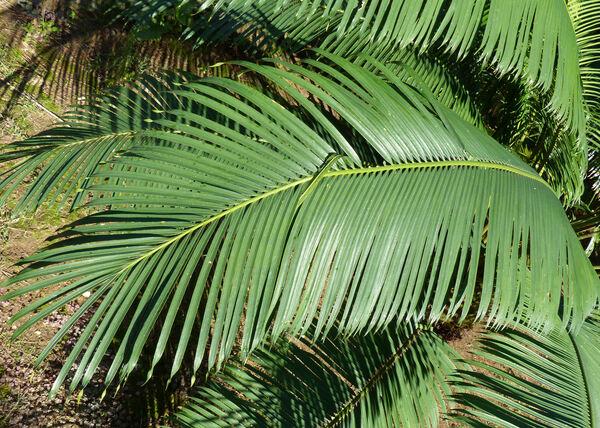 Cycas diannanensis Z.T.Guan & G.D.Tao