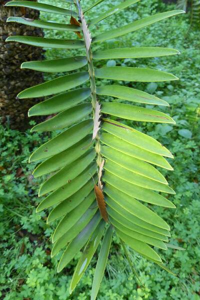 Encephalartos longifolius Lehm.