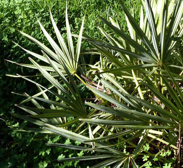 Serenoa repens (Bartr.) Small 'Glauca'