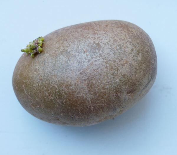 Solanum tuberosum L. 'Melrose'