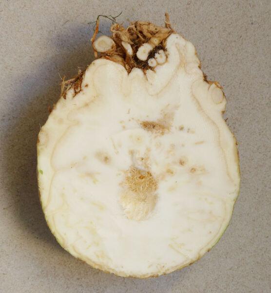 Apium graveolens L. var. rapaceum hort.