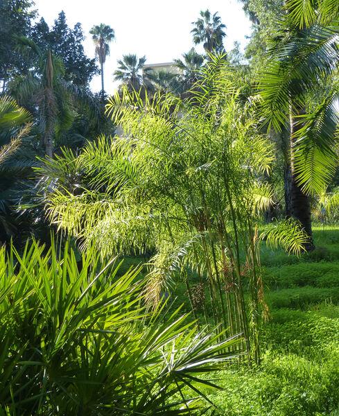 Chamaedorea glaucifolia H.Wendl.