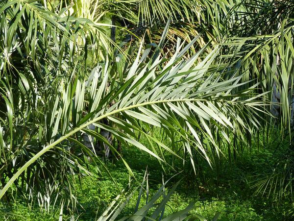 Allagoptera arenaria Kuntze