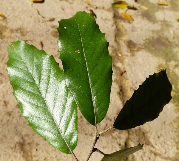 Quercus incana Bartr.