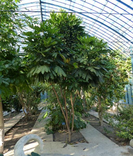Schefflera elegantissima (Veitch ex Mast.) Lowry & Frodin