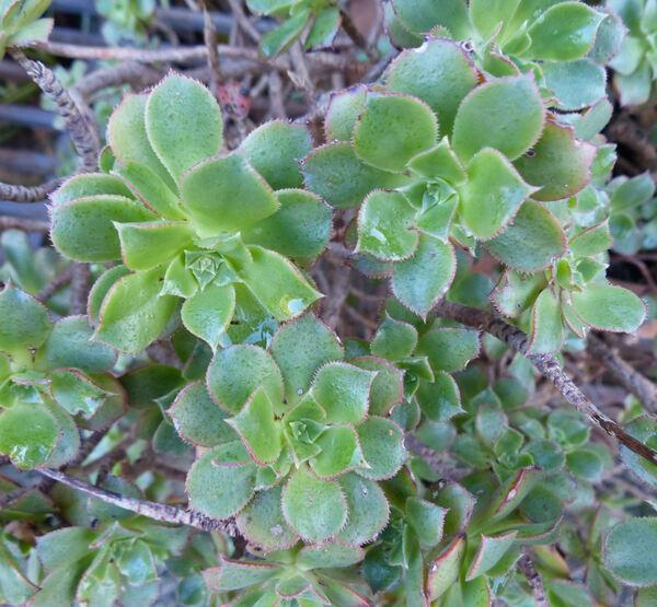 Aeonium lancerottense (Praeger) Praeger
