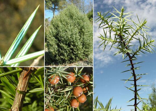 Juniperus deltoides R.P.Adams