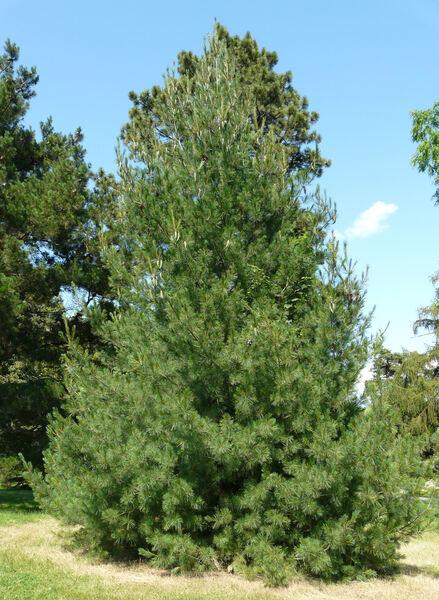 Pinus peuce Griseb.