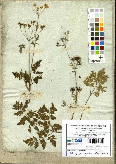 Anthriscus sylvestris (L.) Hoffm. subsp. alpina (Vill.) Gremli