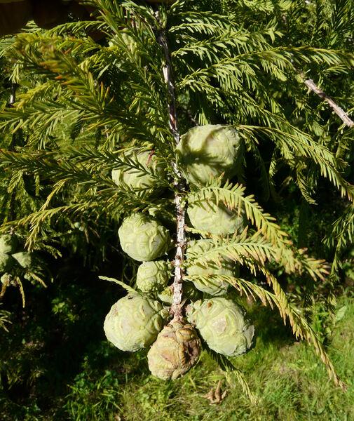 Taxodium distichum (L.) Rich.