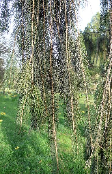 Picea smithiana (Wall.) Boiss.