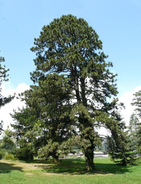 Pinus pinaster Aiton subsp. pinaster