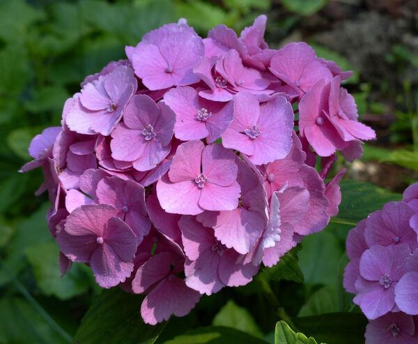 Hydrangea spp.