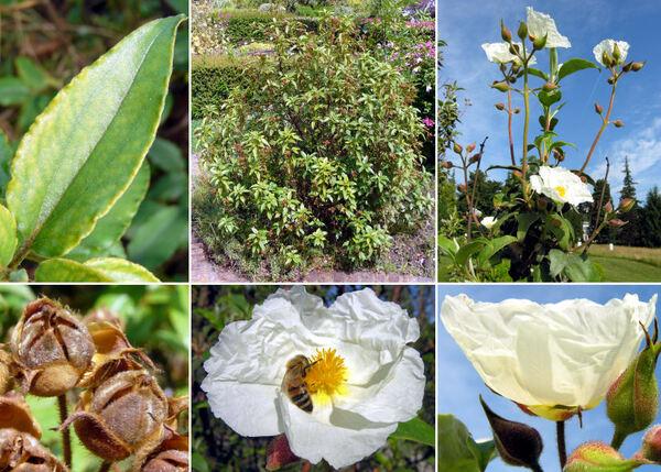Cistus laurifolius L. subsp. laurifolius