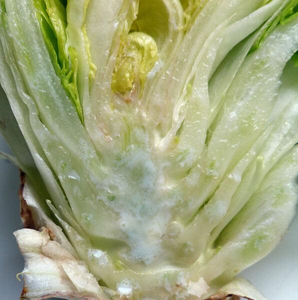 Lactuca sativa L. 'Iceberg'
