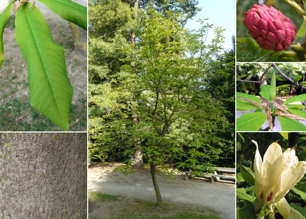 Magnolia tripetala L.