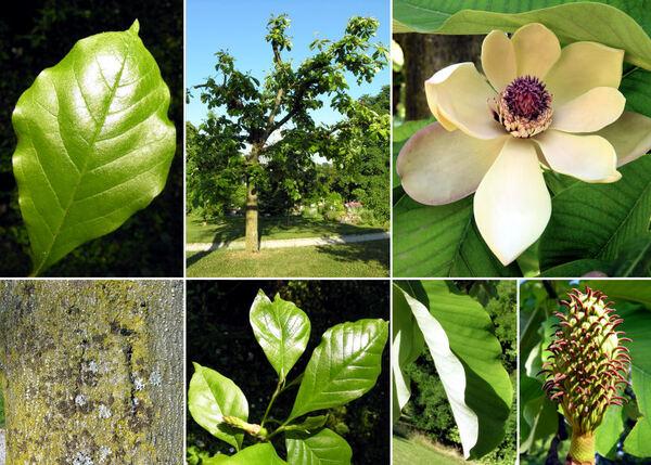 Magnolia hypoleuca Siebold & Zucc.
