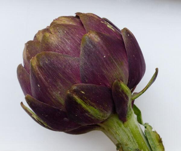 Cynara cardunculus L. 'Apollo ® Zuone'