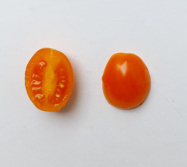 Solanum lycopersicum L. 'Datterino Giallo'