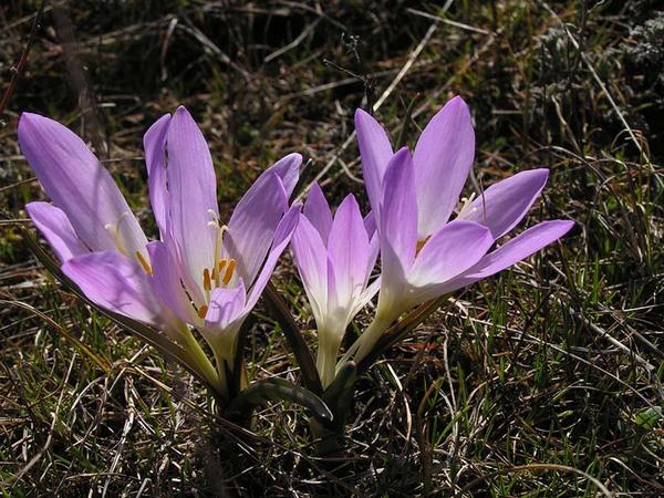 Colchicum bulbocodium Ker Gawl. subsp. bulbocodium