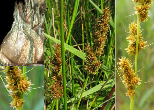 Carex vulpinoidea Michx.