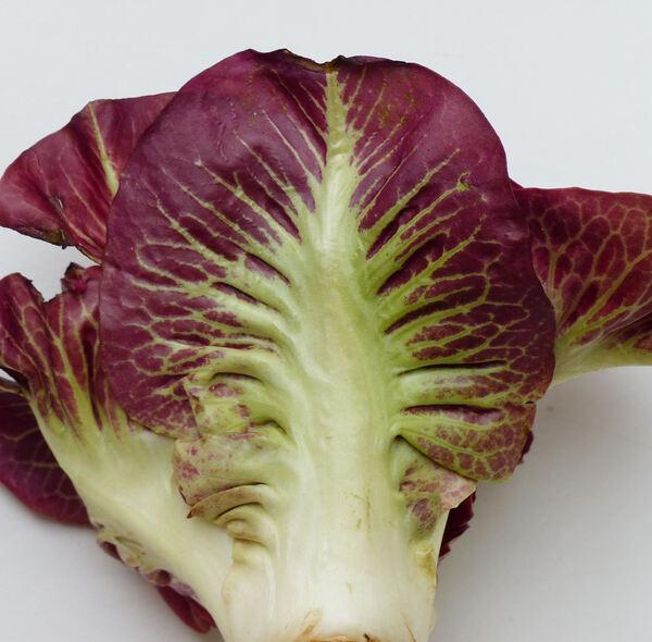 Cichorium intybus L. 'Rosa di Gorizia'