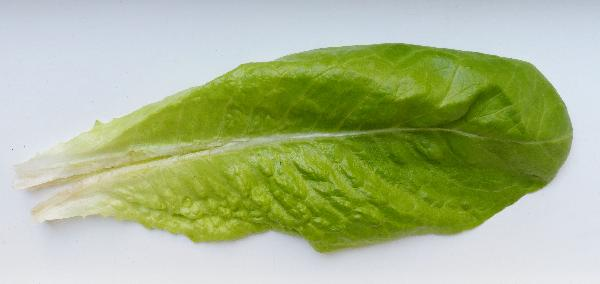 Lactuca sativa L. 'Romana'