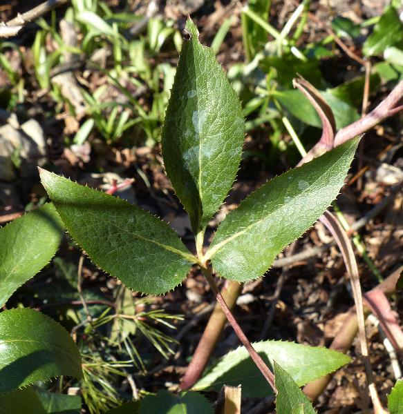 Helleborus x sternii Turrill