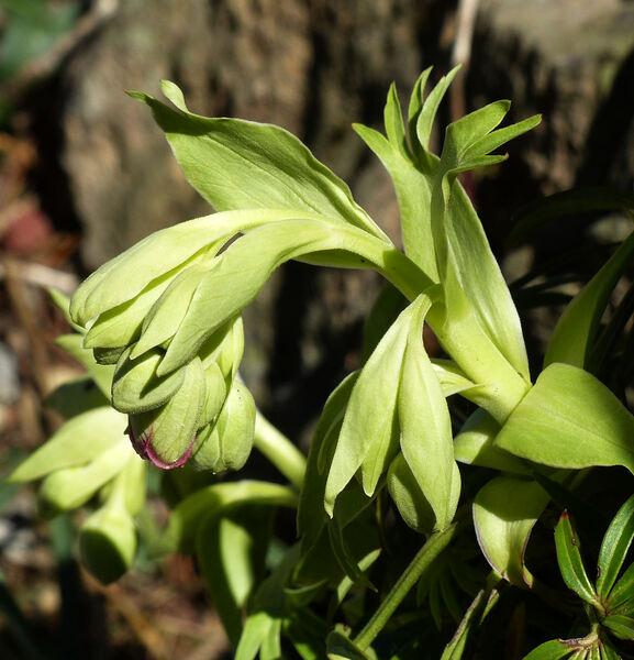 Helleborus foetidus L. subsp. foetidus