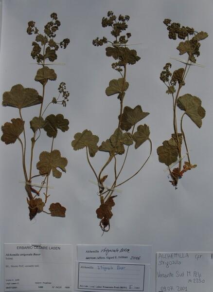 Alchemilla strigosula Buser