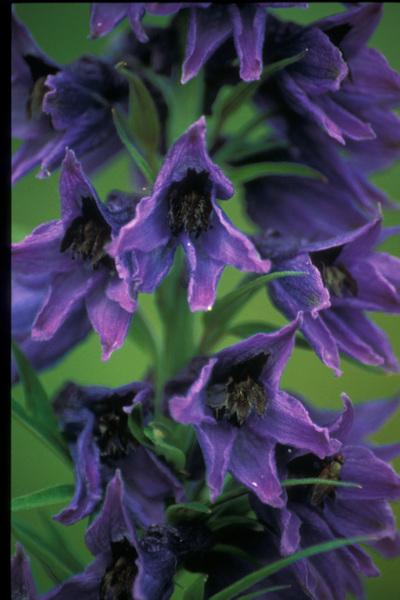 Delphinium dubium (Rouy & Foucaud) Pawł.